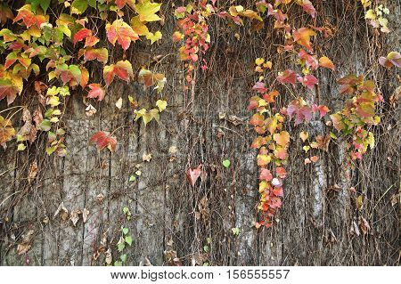 Wood plank wall background with creeper plants at late fall.