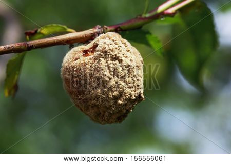 the rotten peach on a branch in garden