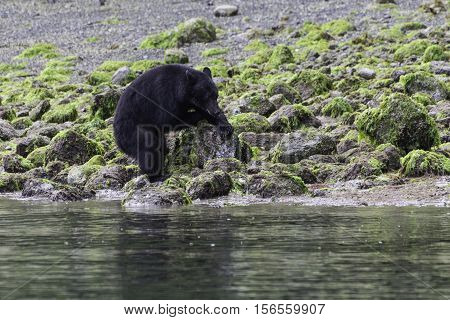 Black bear on a beach at low tide flipping over rocks to find crabs to eat.Tofino British Columbia Canada