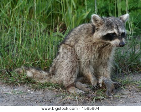 Raccoon Holding A Fish