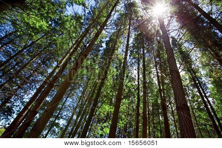 Sun shining through tall trees in forest