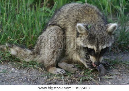 Raccoon Eating A Fish Dinner