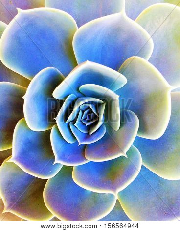 planta suculenta vista de cima em tons de azul