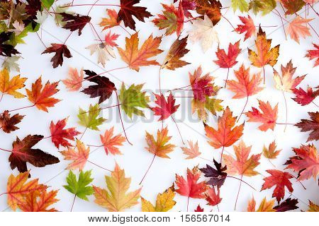 High Angle Full Frame Still Life of Colorful Autumn Leaves from Deciduous Trees Arranged on White Background