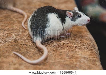 Black and white house rat. Little and cute animal