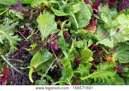 Mixed raw salad leaf field greens closeup