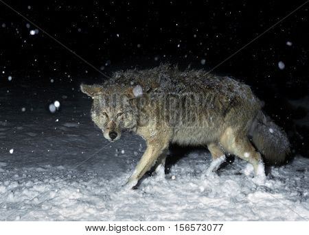 Wolf in Winter Snow Storm at Night