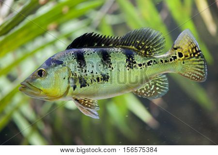 Butterfly peacock bass (Cichla ocellaris).