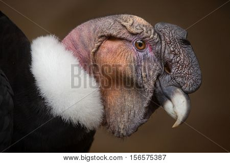 Andean condor (Vultur gryphus). Wildlife animal.