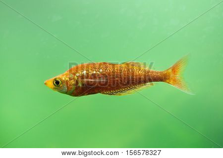 Red rainbowfish (Glossolepis incisus), also known as the salmon-red rainbowfish.