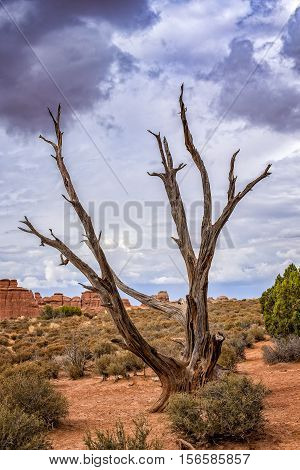 Juniper Tree, Arches National Park, Utah, USA