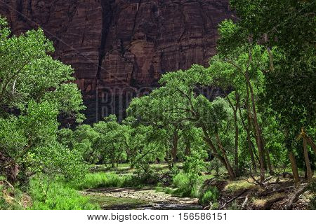 Cottonwood Trees, Virgin River, Zion Canyon, Zion National Park, Utah, USA