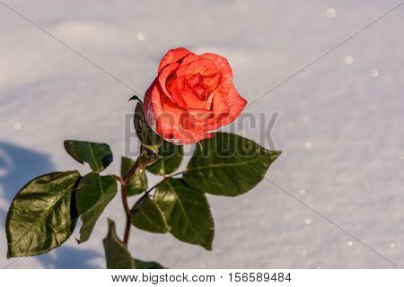 Beautiful delicate red rose with green leaves on a background of white snow in the sunlight