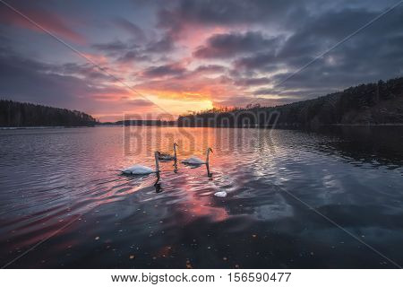 Swans on lake at the sunset. Bright autumn landscape. Evening sky reflected in the water.