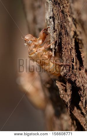 Cicada Slough (chan yi Periostracum Cicadae) most use in Chinese traditional medicine recipe.
