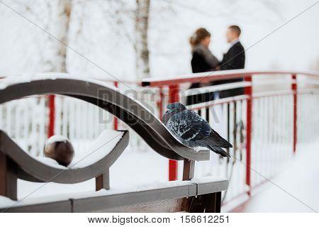 Dove walking in the snow. Beautiful bird portrait