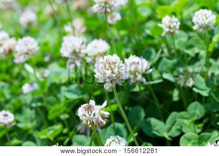 Beautiful field of white clovers or trefoil (Trifolium). Shallow depth field.
