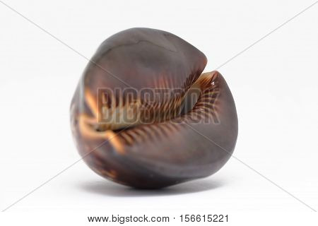 Cowrie Shell. It is isolated on a white background.