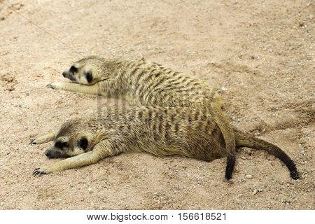 Awesome meerkat outdoor shot. Meerkat is typical Africa species, meerkat could be found also in Zoo. Animal shot capturing meerkat. Very cute meerkat.