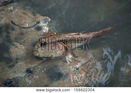 Mud skipper or amphibious fish in mangrove forest. Wildlife animal