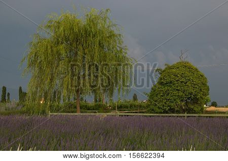Panoramic view of lavender field under summer storm