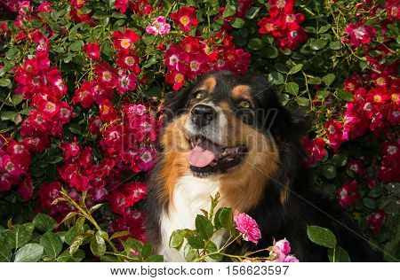 Beautiful happy aussie dog on the roses