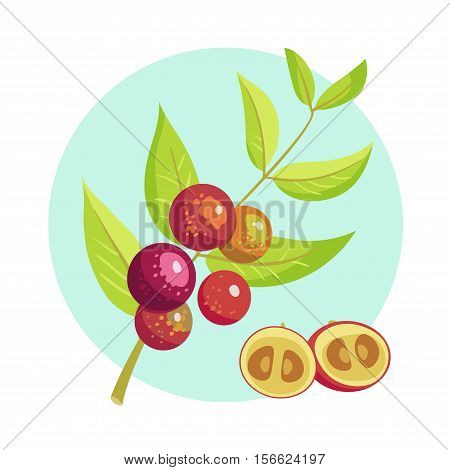 Vector Icon Of Branch With Camu Camu Fruits. Eco Organic Diet Food, Superfood. Exotic Fruit Myrciari
