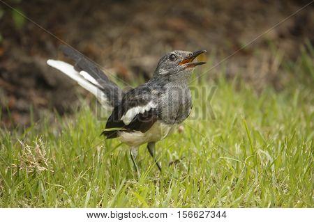 Oriental magpie robin, bird living on grass ground