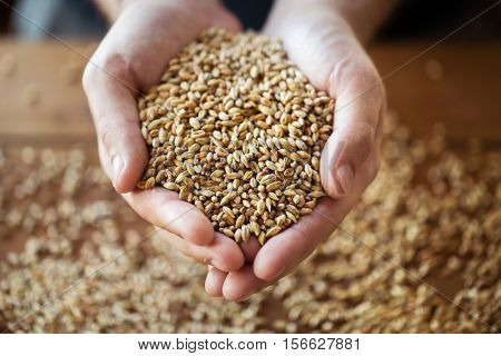 agriculture, farming, prosperity, harvest and people concept - close up of male farmers hands holding malt or cereal grains