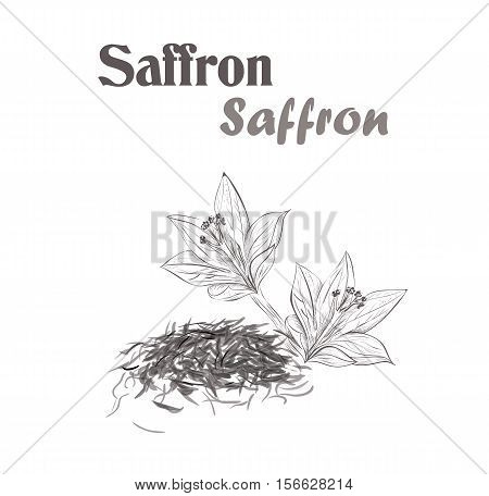 saffron spice. Sketch style vector illustration of saffron