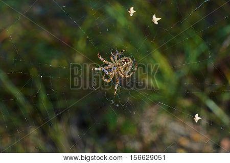 Cross tee spider in its network eats prey.
