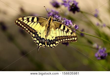 Macro of machaon butterfly sitting on a lavender flower