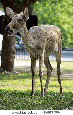 Brow-antlered deer, is an endangered species of deer indigenous to Southeast Asia. Animal scene.