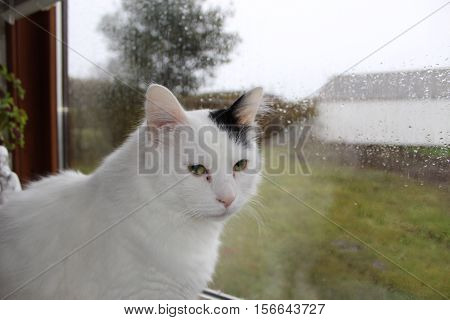 white og black cat breed Turkish Van Vankedisi or Turkish Angora, rain outside the window