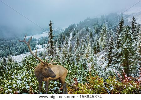 Wet road and pine forest in the mountains are covered with the first snow. Red deer with branched antlers standing on a hillside