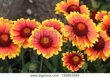Flowers / Gazania - A beautiful flower garden.