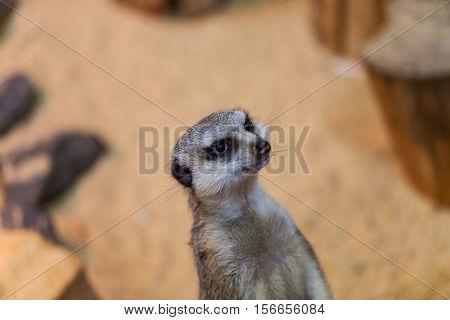 One meerkat or suricate in the zoo