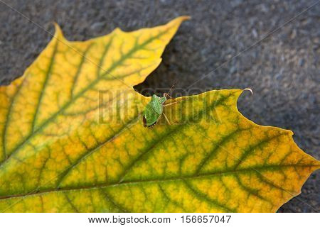 Close up view of a green shield bug or stink bug on autumn maple leaf. Green and yellow maple leaf as an autumn symbol on dark cement floor.