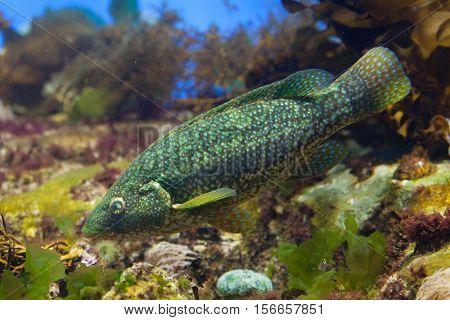 Ballan wrasse (Labrus bergylta). Marine fish.
