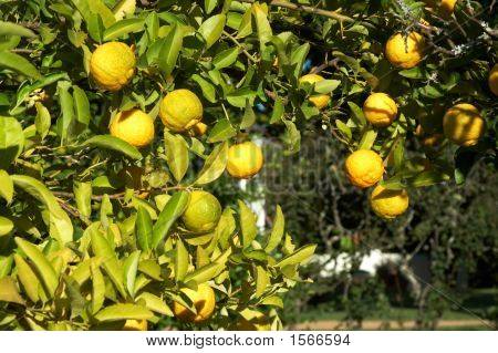 A Green Tree Full Of Lemons
