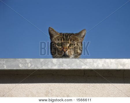 Curious Tabby Cat