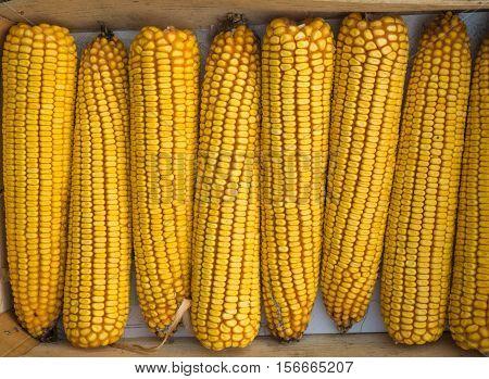 Background of the yellow maize on sale close up. Yellow maize pattern close up.