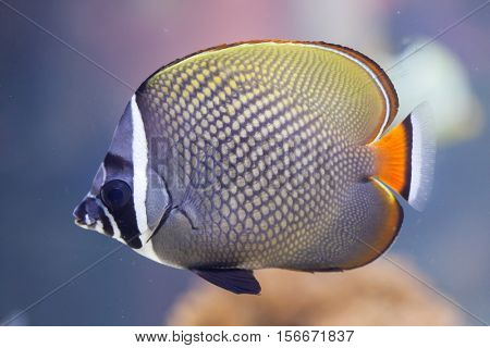 Red-tailed butterflyfish (Chaetodon collare), also known as the Pakistani butterflyfish.