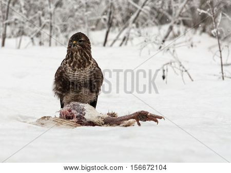 Common Buzzard (Buteo buteo) sitting on hunted turkey in a very cold and snowy December day. Poland Bory Tucholskie National Park. horizontal view