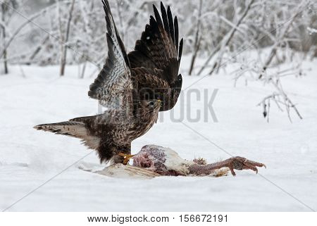 Common Buzzard (Buteo buteo) with its wings spread immediately after landing when the found the carcass of a turkey in a very cold and snowy December day. Poland Bory Tucholskie National Park. horizontal view