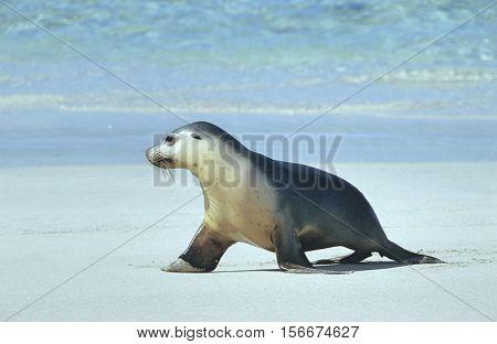 Fur seal walking on beach
