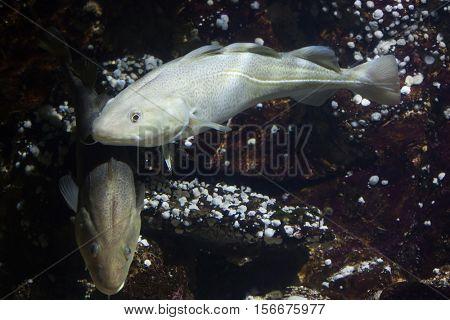 Atlantic cod (Gadus morhua). Marine fish.