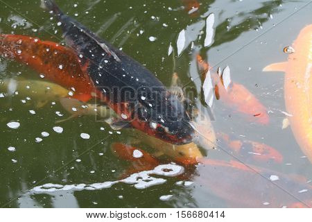 Different goldfish and koi swim in a pond