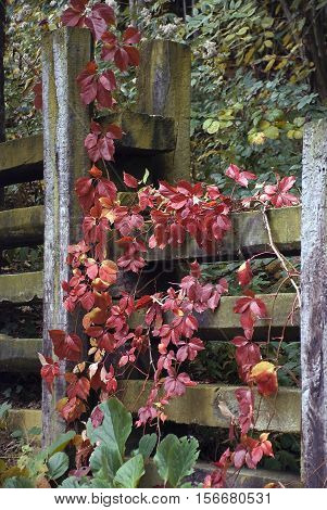 The fence with Virginia creeper with red leaves.
