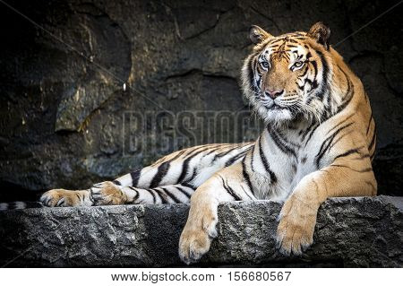 Tiger With A Relaxing Evening